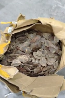 Pangolin scales found and seized by Turkish security forces at Istanbul Airport, July 29, 2019. (IHA Photo)