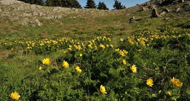 Adonis Cyllenea-Blume nach 150 Jahren wiederentdeckt