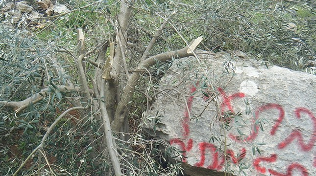 Photo from Monday, March 12, 2012, shows olive tree in West Bank village cut down by Israeli settlers from Bat Ayin settlement. Photo from Palestine Solidarity Project