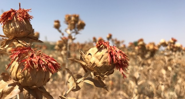 Safflower oil promises beauty from inside out