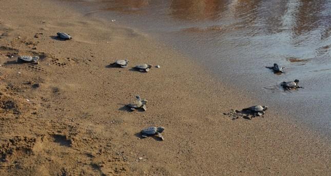 Baby loggerheads heading to the sea at İztuzu Beach, Muğla.