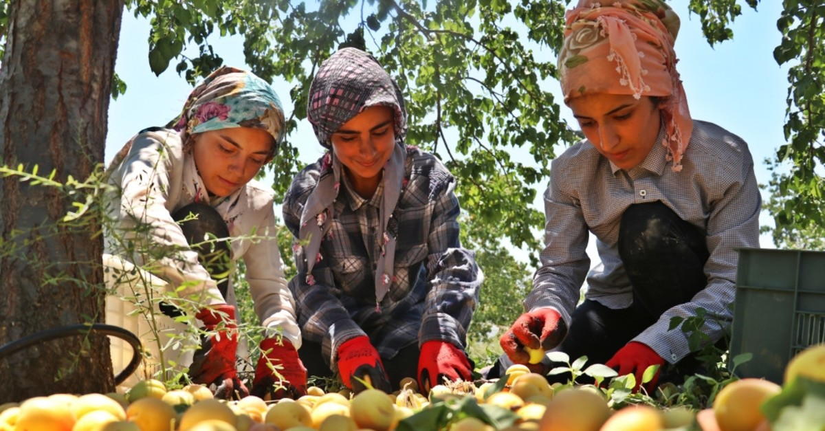 Exports of fresh apricots grown on the shores in Elazu0131u011f's Baskil district have seen 100% increase this year, increasing to 24,000 tons, compared to 12,000 tons of last year.