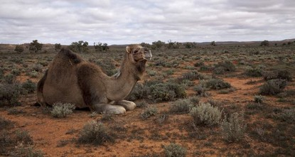 Turkish vets, aid group say 'savage' killing of camels in Australia not the answer