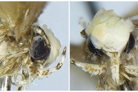 A small moth with a yellowish-white coif of scales has been named after U.S. President Donald Trump, in honor of the former reality TV show host and real estate magnate's signature hairdo.