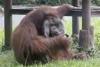 Orangutan caught smoking in Indonesia zoo, outraging activists