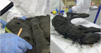 Russian scientists find perfectly preserved ancient foal in Siberia