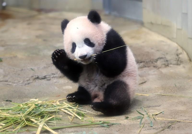 Baby panda Xiang Xiang plays at its enclosure during a press preview at Ueno Zoo in Tokyo on Dec. 18, 2017. (AFP Photo)