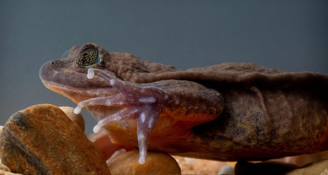 Photo taken on Dec. 13, 2018 showing Julliet, a Sehuencas water frog rediscovered in the wild in Bolivia, seen here during her quarantine as she acclimates to her new environment.