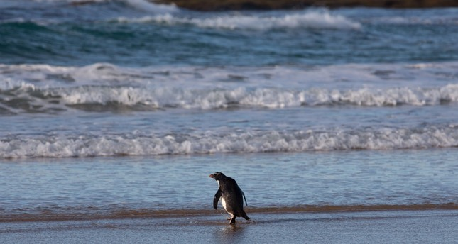 A Fiordland penguin being released back into the ocean on Phillip Island, south of Melbourne, Sept.18.