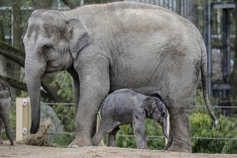 The newborn elephant baby and other elephants are pictured in their enclosure at the animal park Planckendael in Muizen, near Mechelen, on April 11, 2018. (AFP Photo)