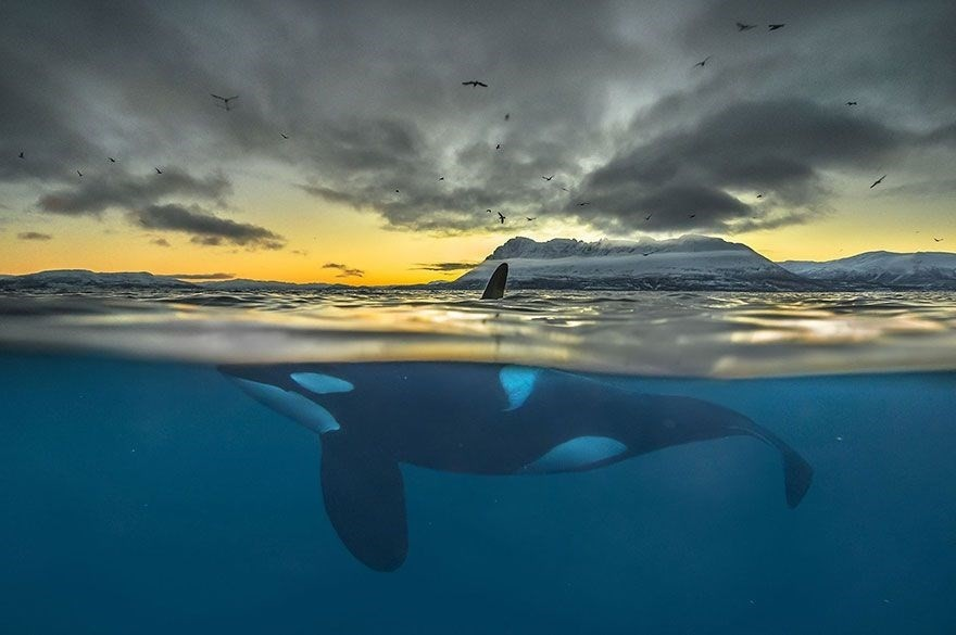 Killer Whale In Polar Night, Norway - Honorable Mention, Animals In Their Environment