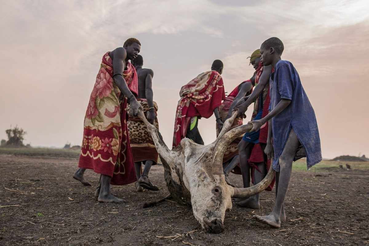 Dragging away a dead cow that was killed by a scorpion, Mingkaman, Lakes State, South Sudan on March 4, 2018.