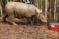 Malaysia's last surviving male Sumatran rhino Tam dies