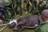 8 critically endangered black rhinos dead after relocation in Kenya