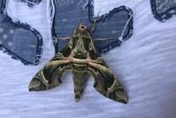 فراشة نادرة من فصيلة ديفنيس نيري شوهدت في أحد فنادق بودروم