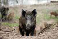 Wild boars kill 3 Daesh terrorists in Iraq's Kirkuk province