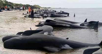 pVolunteers worked to keep as many as 90 re-stranded pilot whales comfortable on Friday evening on a remote New Zealand beach, after a mass stranding left as many as 300 of thebr / creatures...