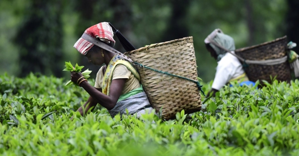 Indian women pluck tea leaves in a tea garden in the Golaghat district of Assam, India, Oct. 12,  2018 (EPA Photo)