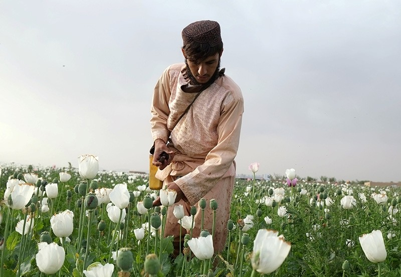 An Afghan man works on a poppy field in Kandahar, Afghanistan, April 25, 2018. Picture taken April 25, 2018. (Reuters Photo)