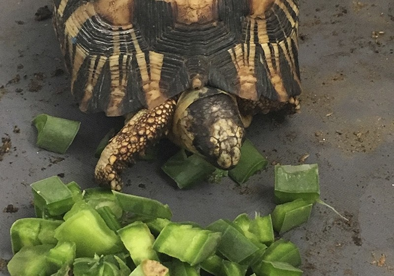 a critically endangered radiated tortoise is recovering from capture by wildlife traffickers in Madagascar at feeding time at a wildlife facility where it is being taken care of by international conservationists (AP Photo)
