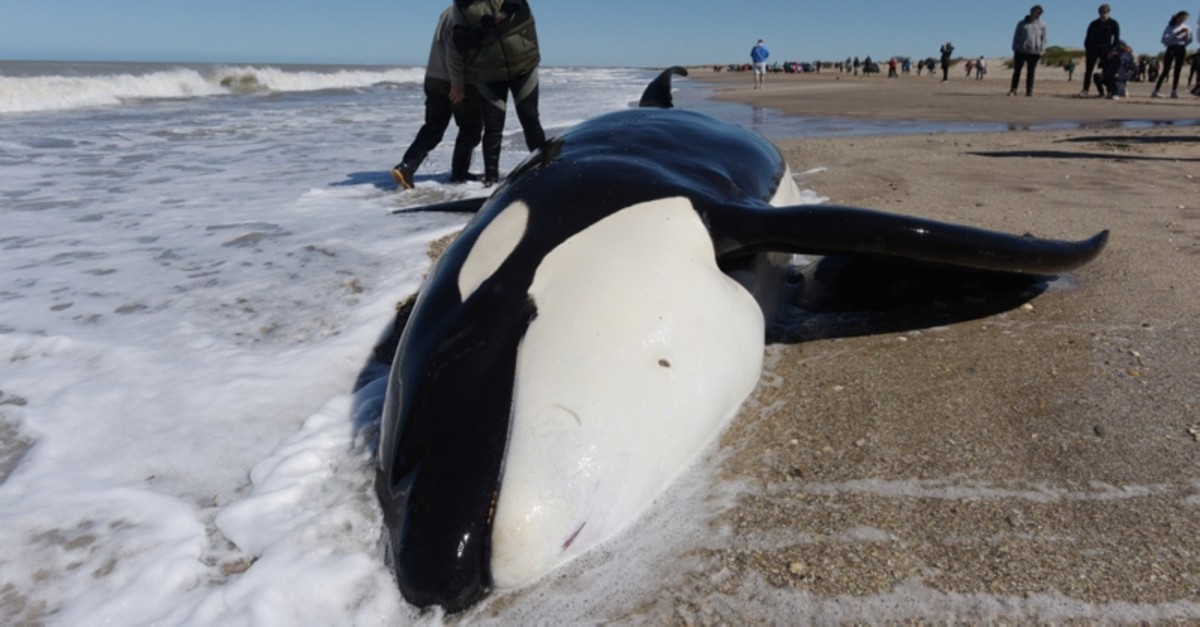 A man takes a picture of a stranded killer whale in Mar Chiquita, Buenos Aires province, Argentina on September 16, 2019.  (AFP Photo)