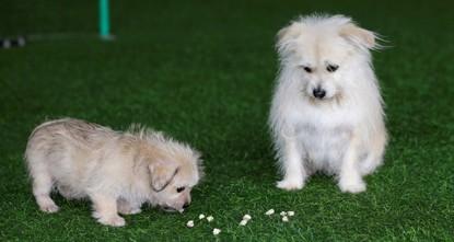 Chinese biotech company clones movie star dog 'Juice'