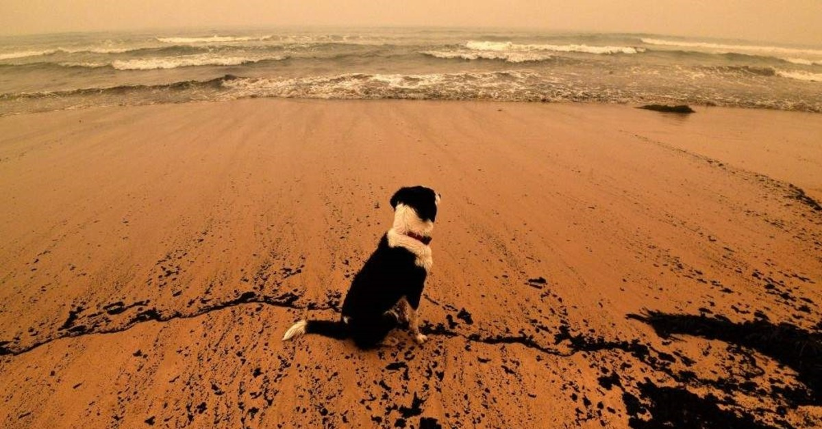 A dog sits amongst ash from bushfires washed up on a beach in Merimbula, in Australia's New South Wales state on January 5, 2020. (Photo by SAEED KHAN / AFP)