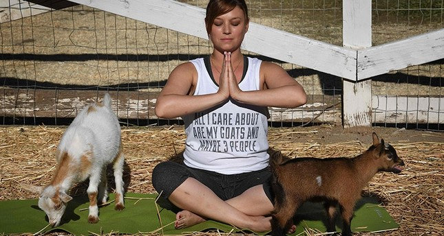 This photo taken on on June 4, 2017 shows Stephanie Allis struggling to maintain her concentration as a baby goat gets close during a Goat Yoga class organized by Lavenderwood Farm in Thousand Oaks, California. (AFP Photo)