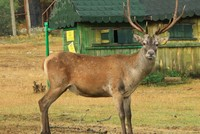 Breeding station in Turkey's Samsun releases red deer into the wild