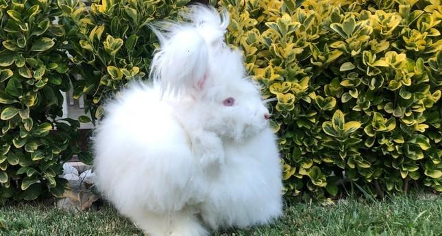 Angora rabbit may return home to Turkish capital