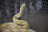 Turkish customs officers seize 17 reptiles, including rare pythons, at Bulgarian border