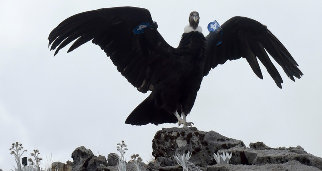 One of two Andean condors which recovered from possible poisoning is pictured after being released back into the wild in the municipality of Cerrito, Santander Department, Colombia, on January 17, 2019. (AFP Photo)