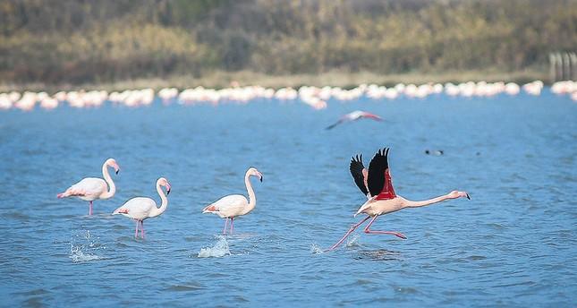 Hersek Lagoon hosts the biggest flamingo population this winter