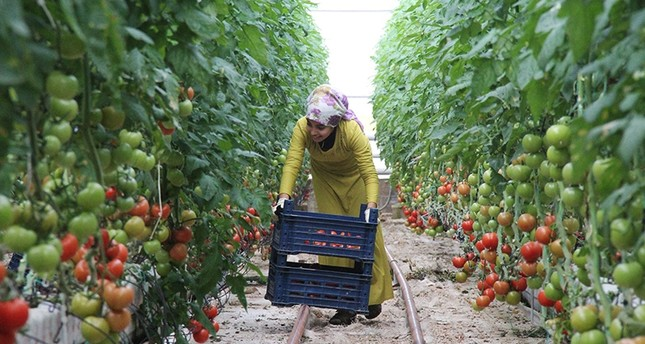 Turkish woman harvests organic tomatoes (DHA Photo)