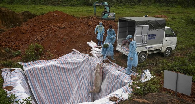 This photograph taken on May 27, 2019 shows health officials and veterinarians throwing a dead pig into an isolated quarantined pit in Hanoi to stop the spread of African Swine Fever (AFP Photo)