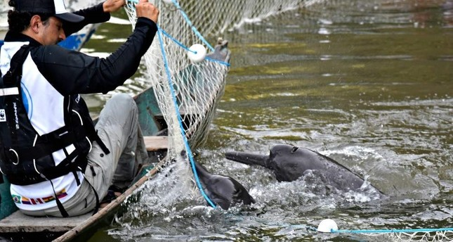 Dolphins being rescued by WWF members on Oct. 23 in the Amazon river, Brazil. (AFP Photo)