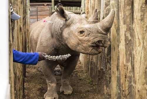 A rhino is coaxed into a cage in the Addo Elephant Park, near Port Elizabeth, South Africa, Thursday May 3, 2018, to be transported to Zakouma National Park in Chad. (AP Photo)