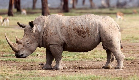Most of the worldu2019s white rhinos live in South Africa, but they face extinction due to illegal hunting.