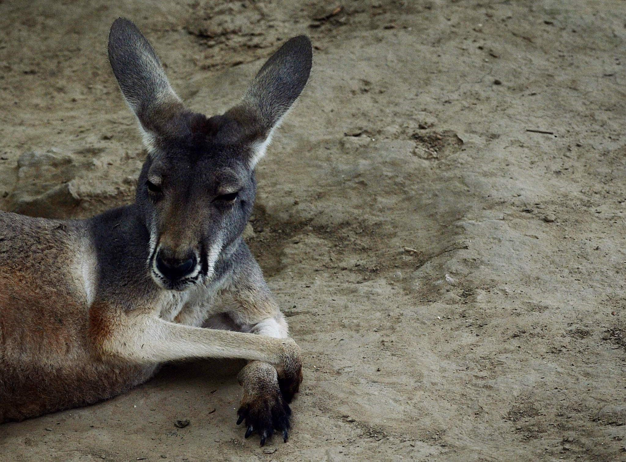 This file picture taken on June 24, 2013 shows an Australian kangaroo relaxing in its enclosure at the Beijing zoo. (AFP Photo)