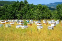 The black honey of Mount Ida's bees