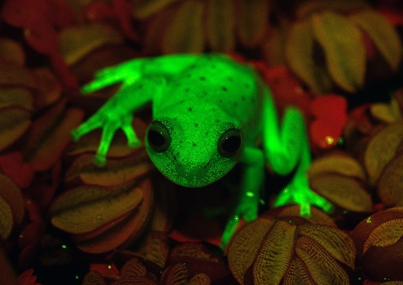 Handout photo relased by CONICET and MACN researchers Carlos Taboada and Julian Faivovich on March 16, 2017 in Buenos Aires of a fluorescent polka-dot tree frog (Hypsiboas punctatus) that lives in South America. (AFP Photo)