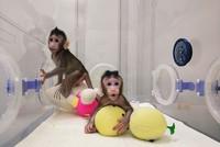 Chinesische Forscher klonen erstmals Affen