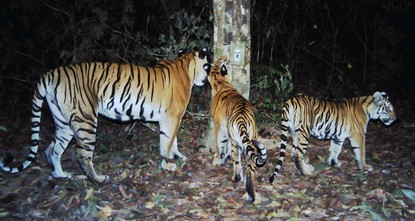 Conservationists on Tuesday hailed the discovery of a new breeding population of tigers in Thailand as a miraculous victory for a sub-species nearly wiped out by poaching.br / br / Images of some...