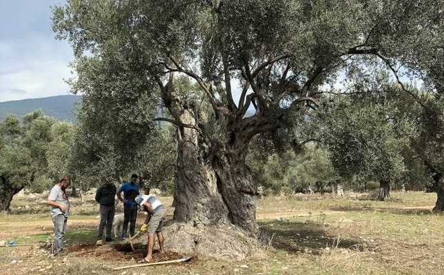 Nuclear physicists collect samples on the roots of the olive tree, which turned out to be 3,000 years old. AA