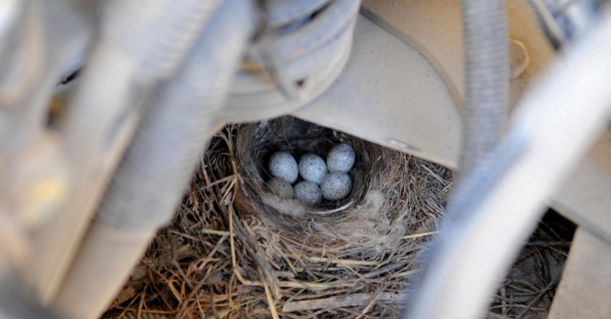 The eggs laid under the truck's hood.