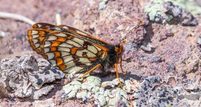 На востоке Турции засняли бабочек «ледникового периода»