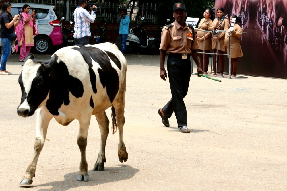 A cow walks on a street in front of a group of pregnant activists from the animal rights organization, u201cPeople for the Ethical Treatment of Animals,