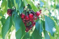 The Cherry Festival, scheduled to kick off on June 8 in northwestern Turkey's Tekirdağ, will award the producer of the best cherries in the region.