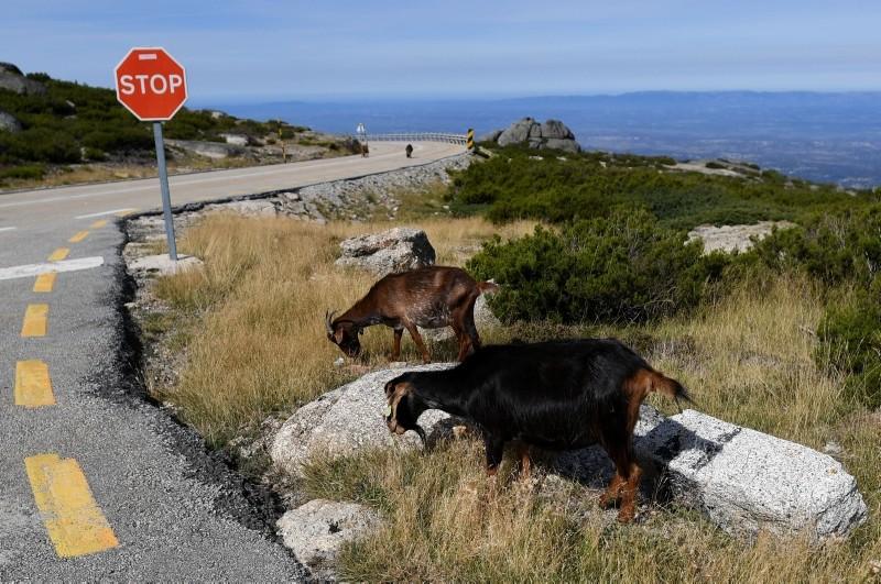 Goats eat grass on the roadside near Loriga, at Serra da Estrela mountain, in central Portugal, Sept. 21, 2018. (AFP Photo)