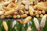 Mexico threatens to cut US corn imports over Trump's free trade restrictions